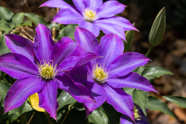 Clematis Blossoms stock photo