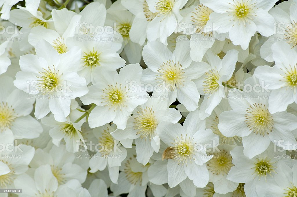 Clematis cartmanii Avalanche stock photo