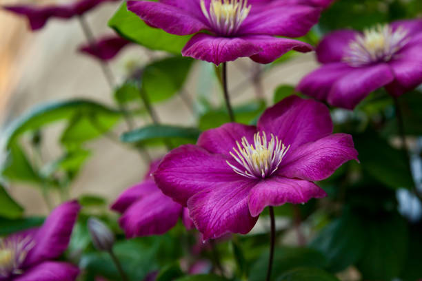 Clematis City of Lyon. Large purple flower on а blurred green background. ville stock pictures, royalty-free photos & images