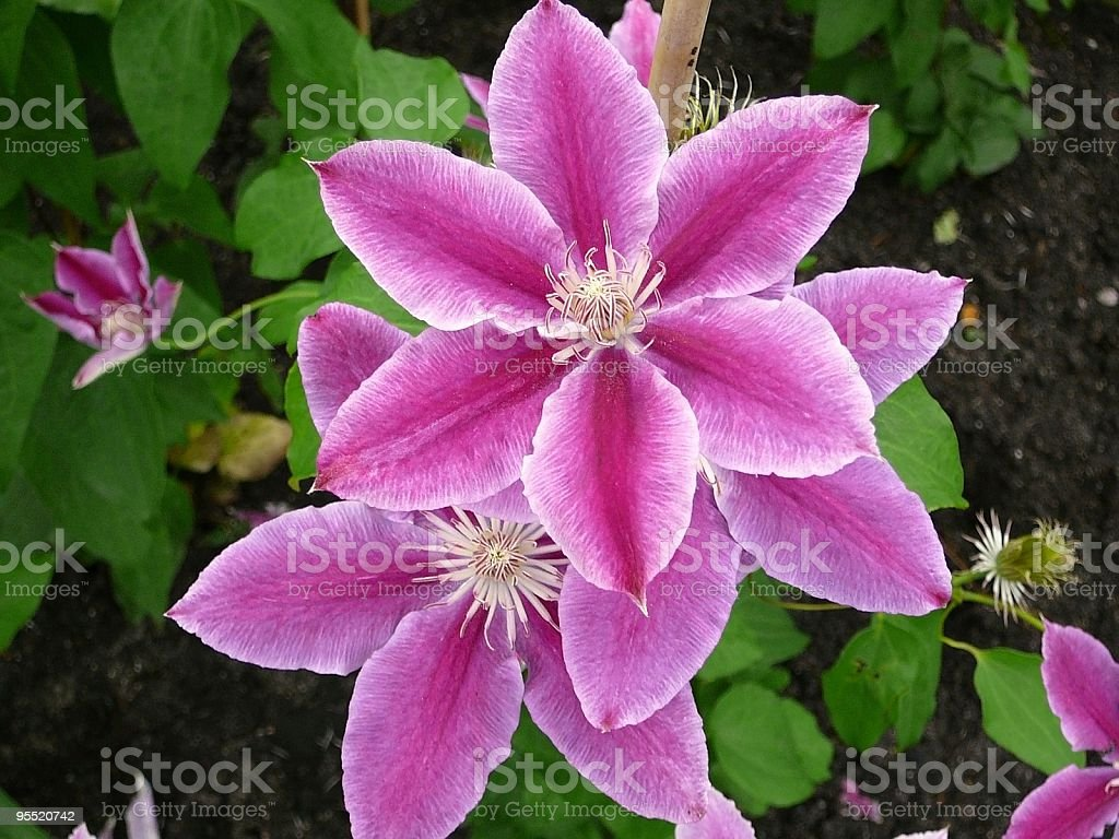 Clematis Dr. Ruppel stock photo