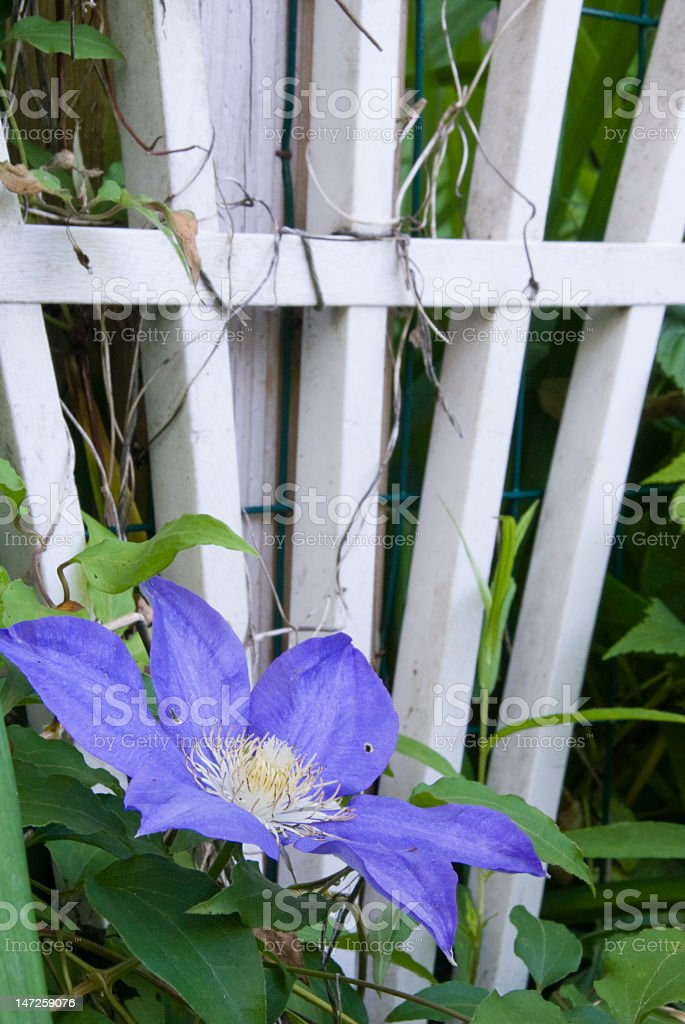 Clematis Flower Close-up royalty-free stock photo
