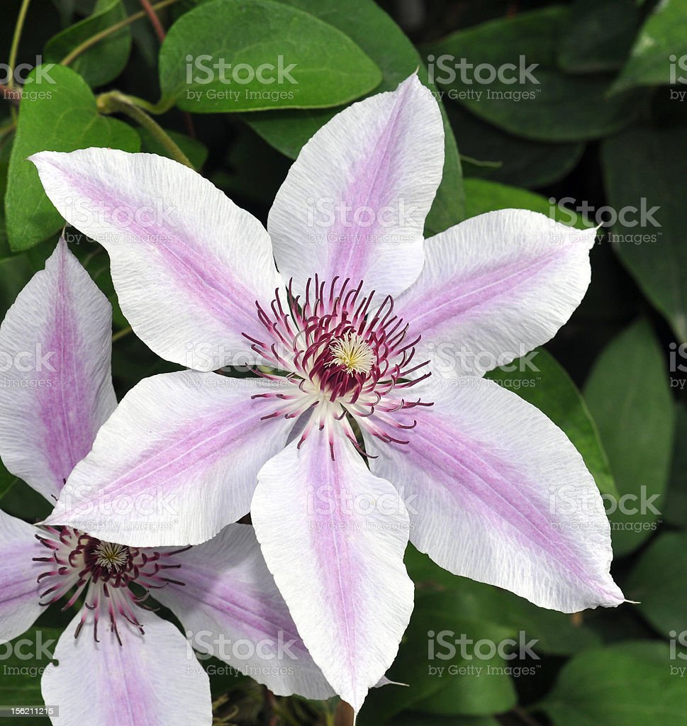 Clematis Flower in Bloom royalty-free stock photo
