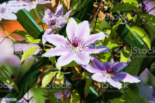 Foto de Flor De Clematite No Jardim Na Polônia Em Primavera e mais fotos de stock de Clematite