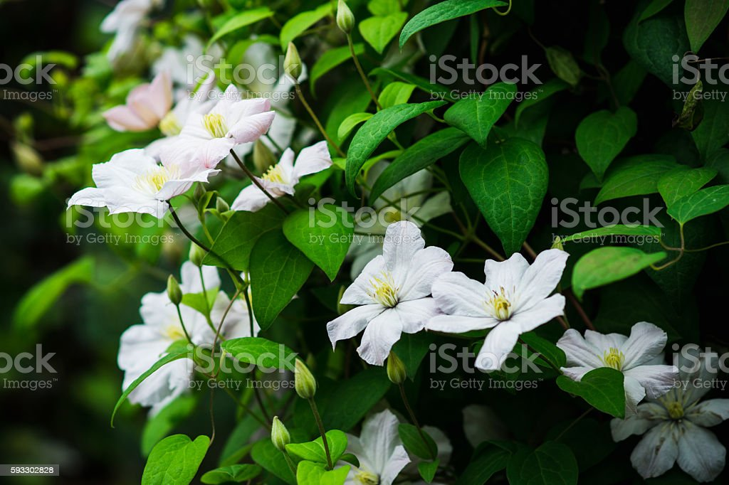 Clematis flower in the garden stock photo