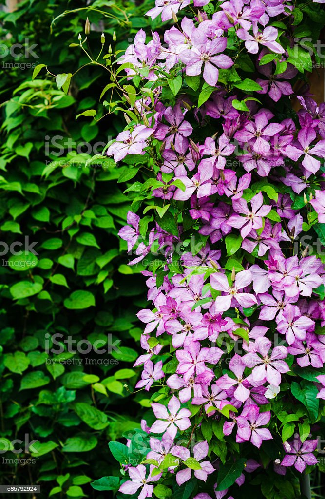 Clematis flowers in the garden stock photo