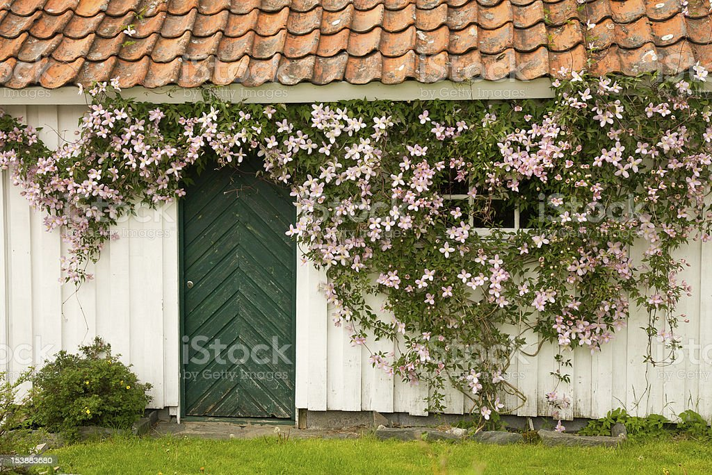 Clematis flowers on a wall stock photo
