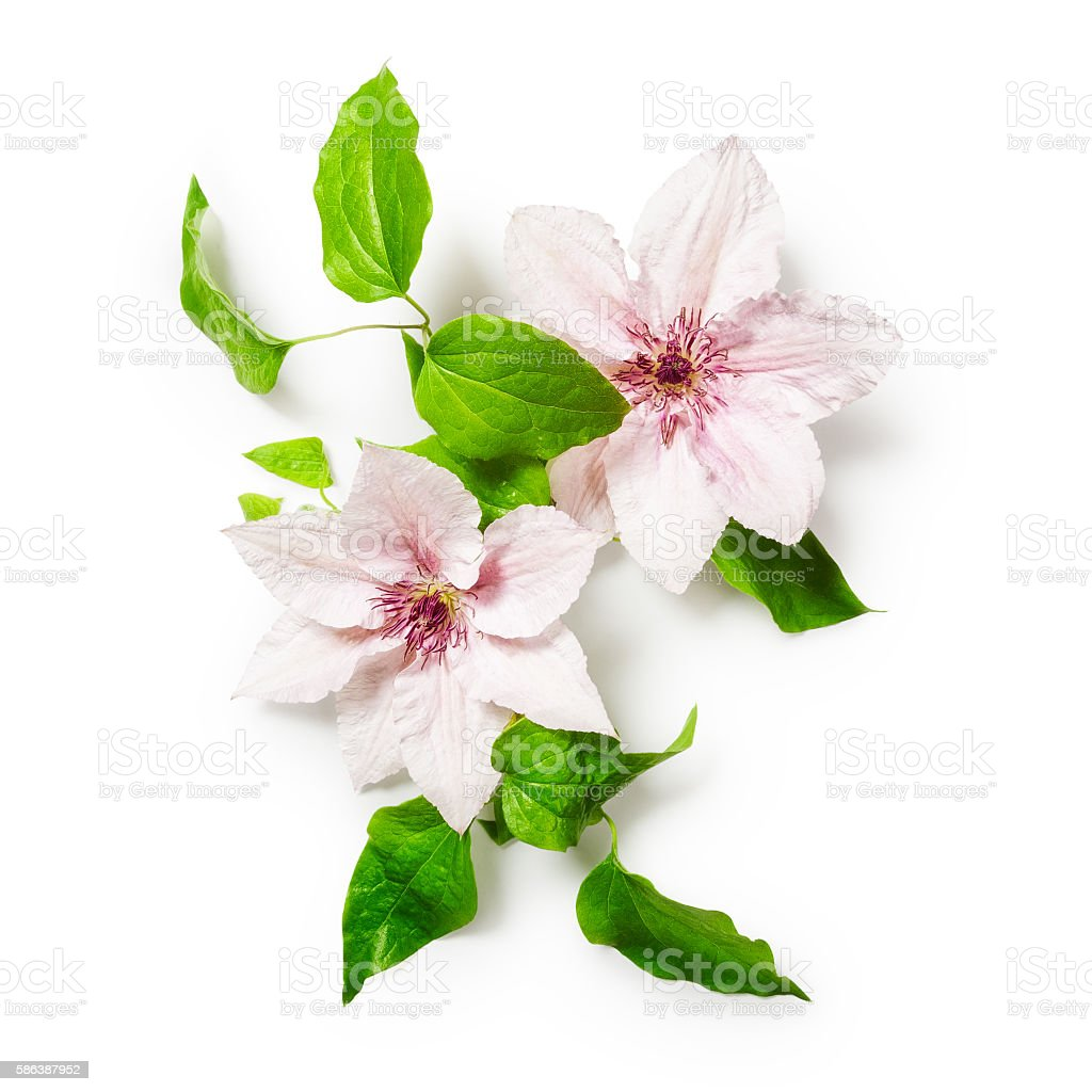 Clematis flowers stock photo