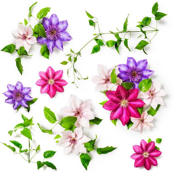 Waldrebe Blumen – Foto