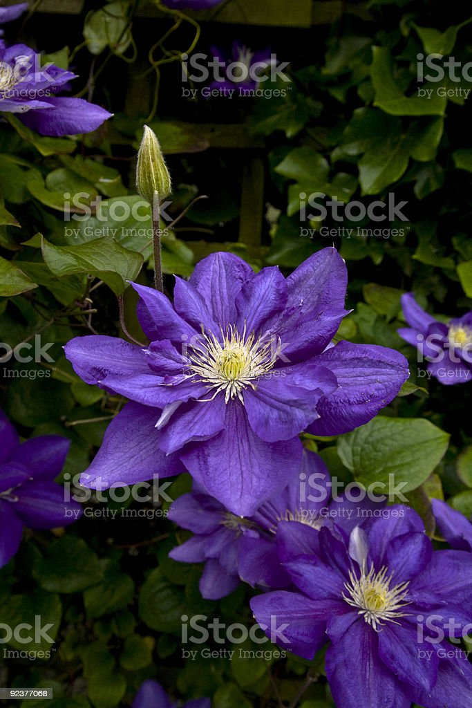 Clematis flowers royalty-free stock photo