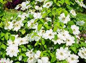 Clematis Guernsey Cream - clematis blooming