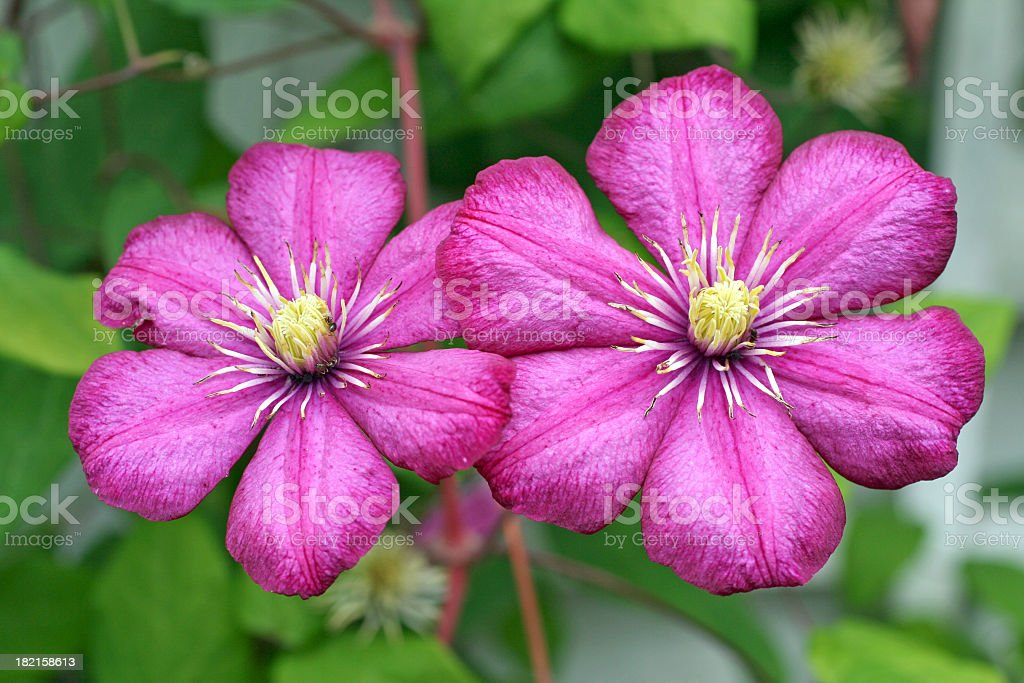 Clematis in Oslo royalty-free stock photo
