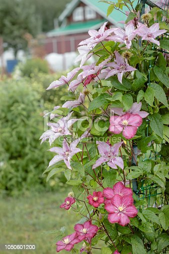 Bush blooming clematis on the background of the dacha