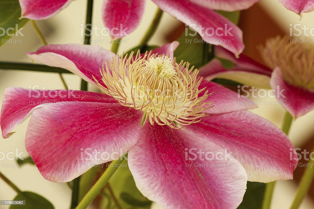 Clematis 'Marie Therese' stock photo