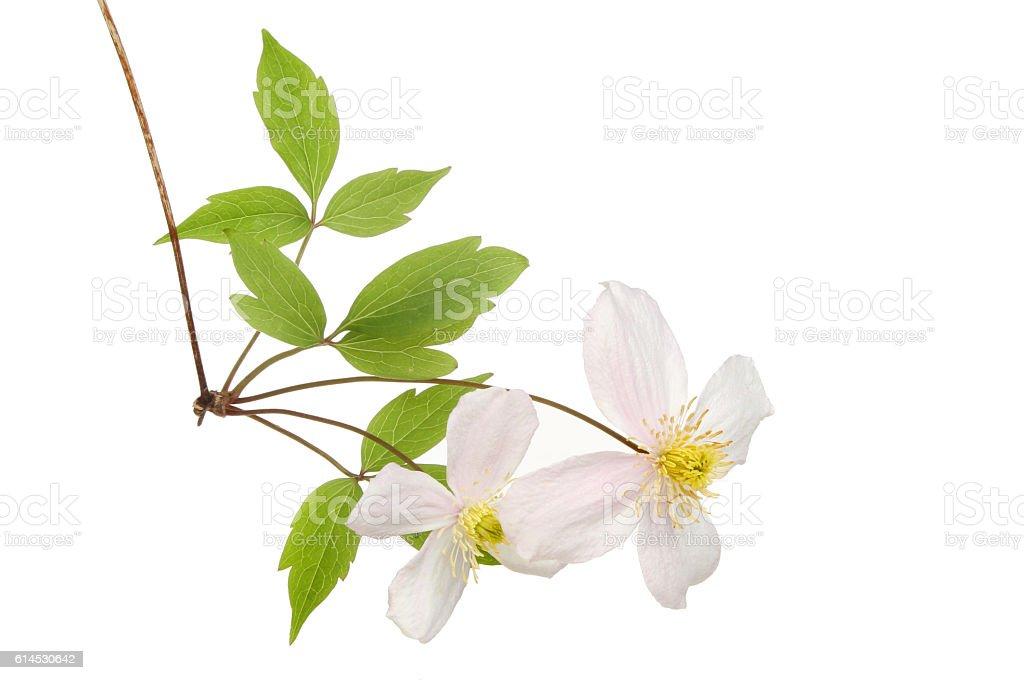 Clematis Montana flowers stock photo