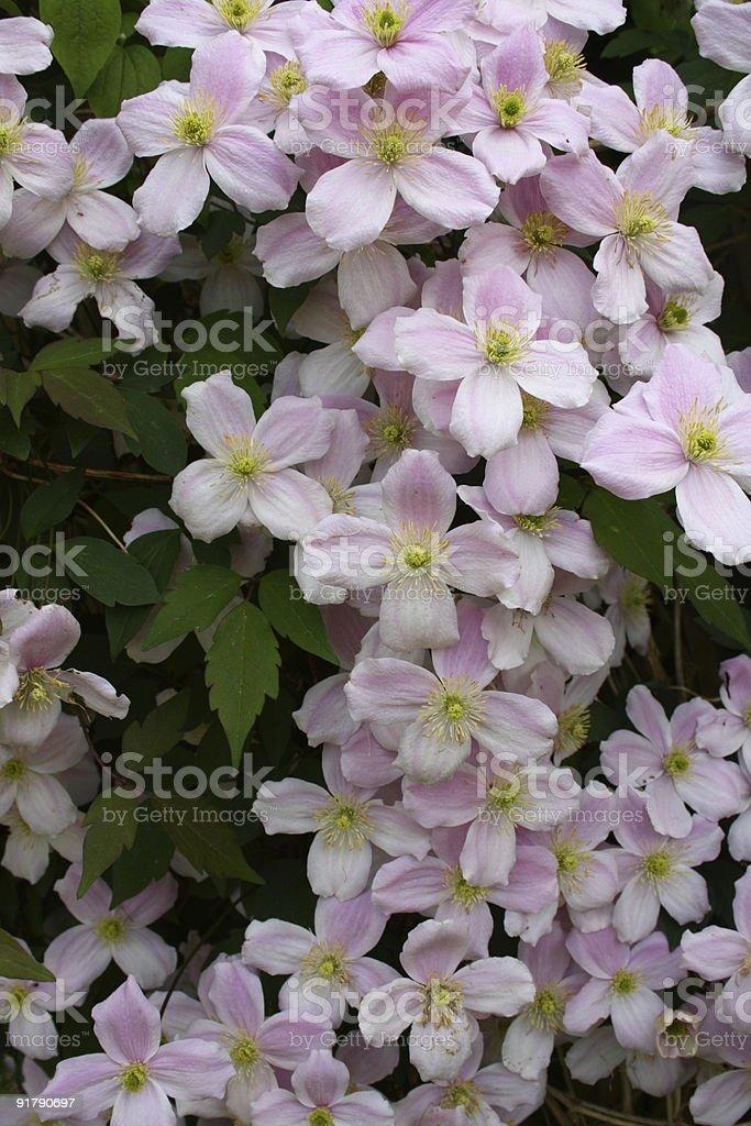 clematis montana stock photo
