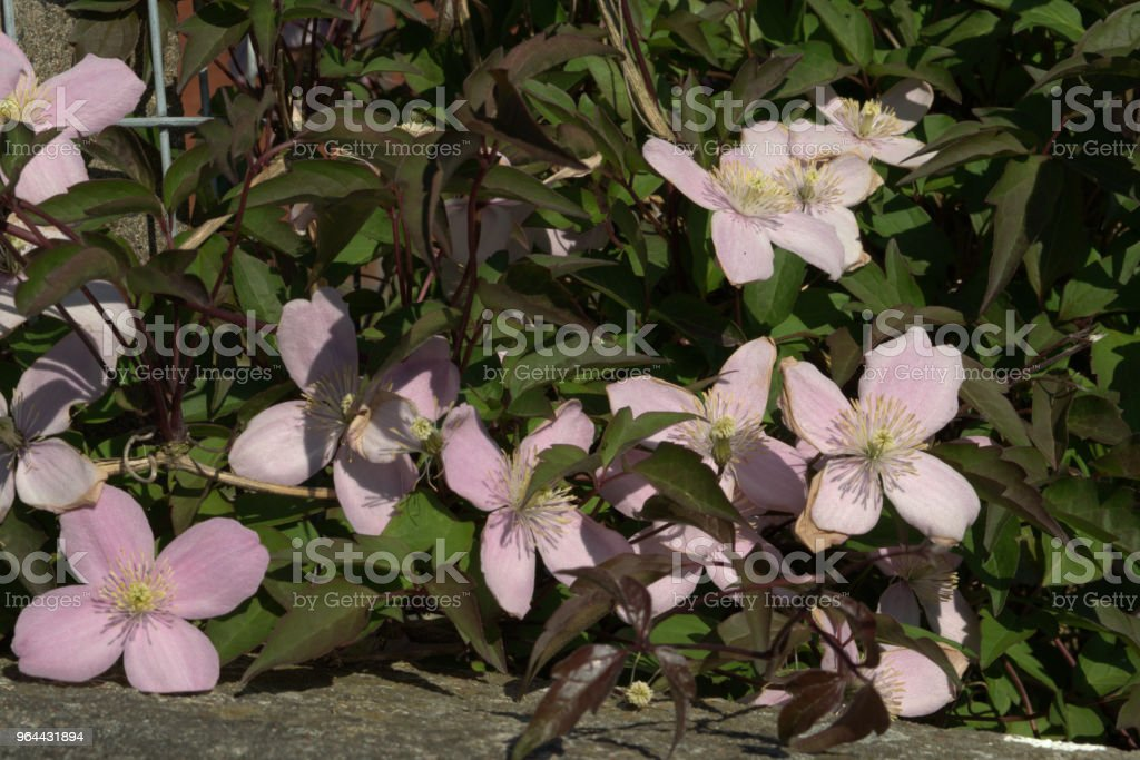 Clematis on a wall - Royalty-free Clematis Stock Photo