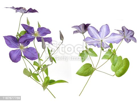 single purple clematis isolated on white background