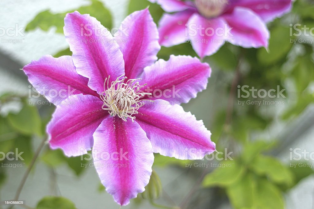 Clematis royalty-free stock photo