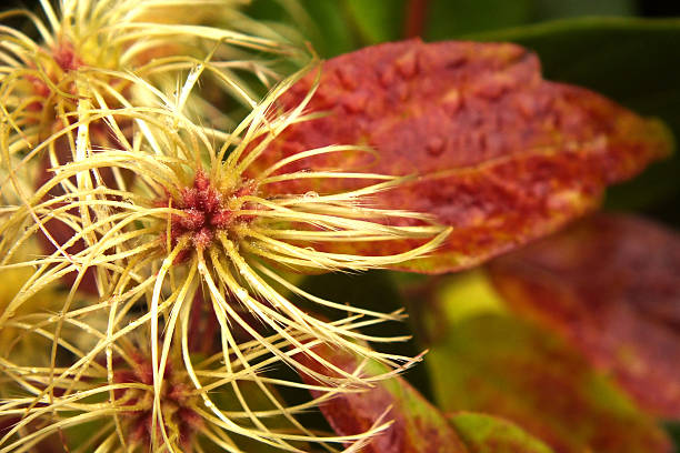 Clematis seed pods in the Fall stock photo