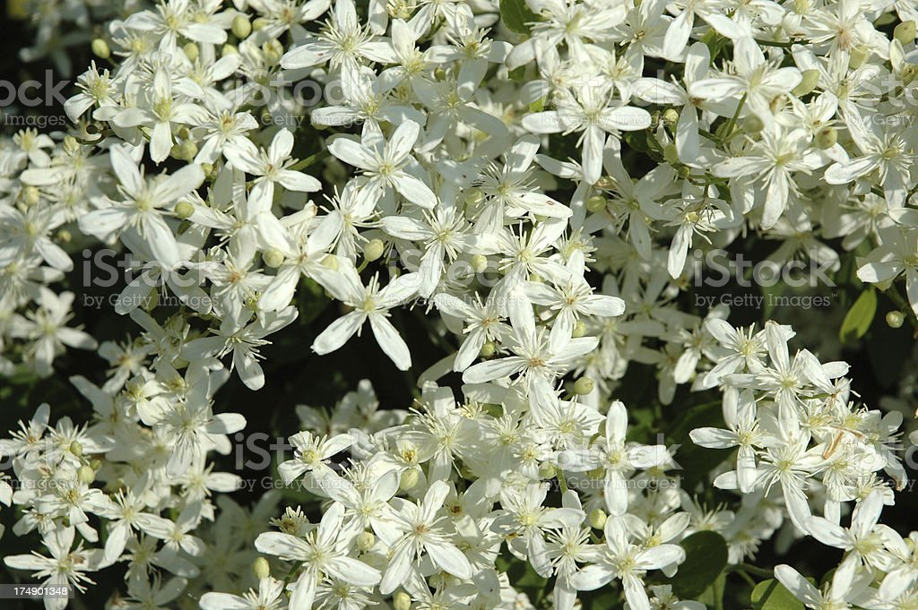 Clematis 'Sweet Autumn' with Profusion of Blooms royalty-free stock photo