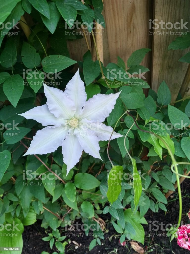 Clematis Vine White Stock Photo More Pictures Of Backgrounds Istock