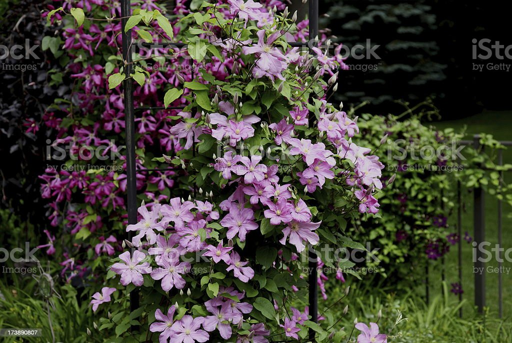 Clematis Vines Growing on Pergola and Fence royalty-free stock photo