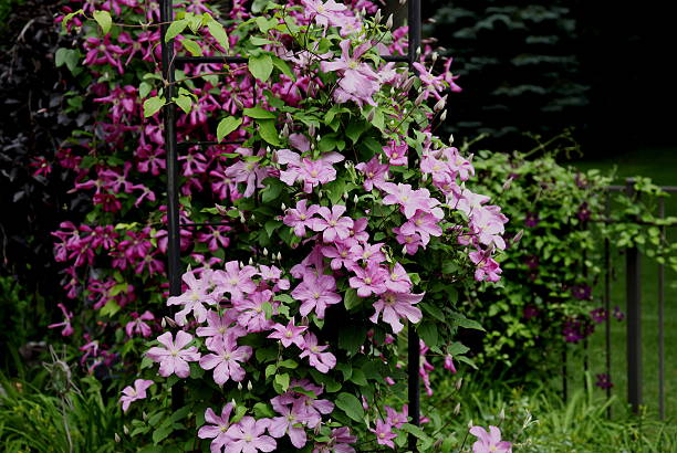 Clematis Vines Growing on Pergola and Fence stock photo