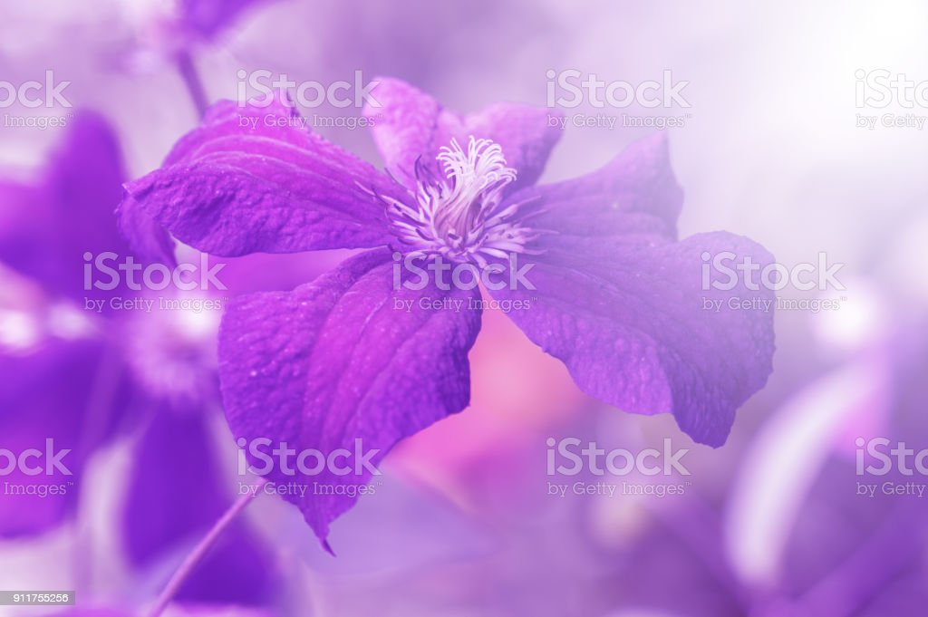 Clematis violet in the sunlight. Artistic image of a flower with tinting, selective focus stock photo