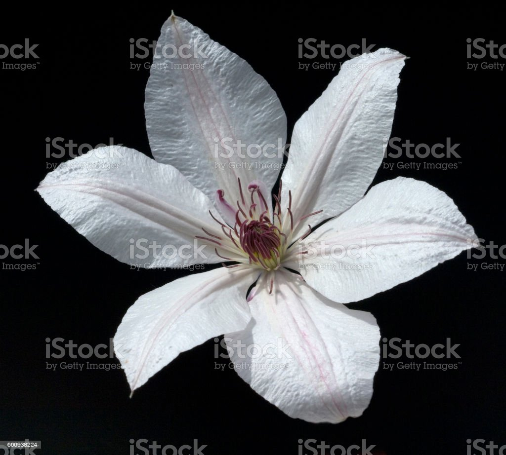 Clematis-Hybride, Mm. le Coultre stock photo