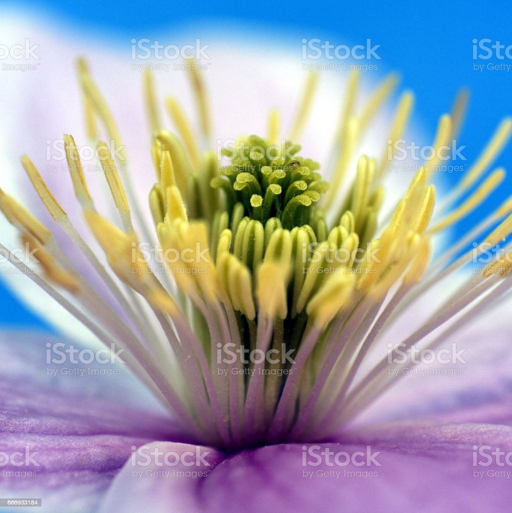 Clematis-Hybride montana stock photo