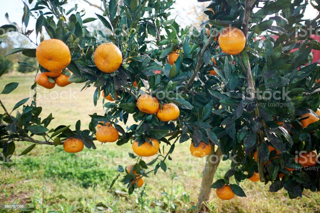 Clementines growing on the branches of a tree stock photo