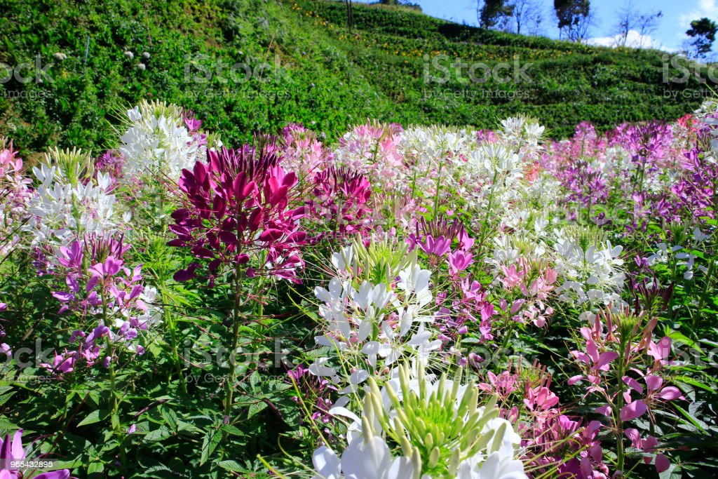 Cleome field in sunlight royalty-free stock photo