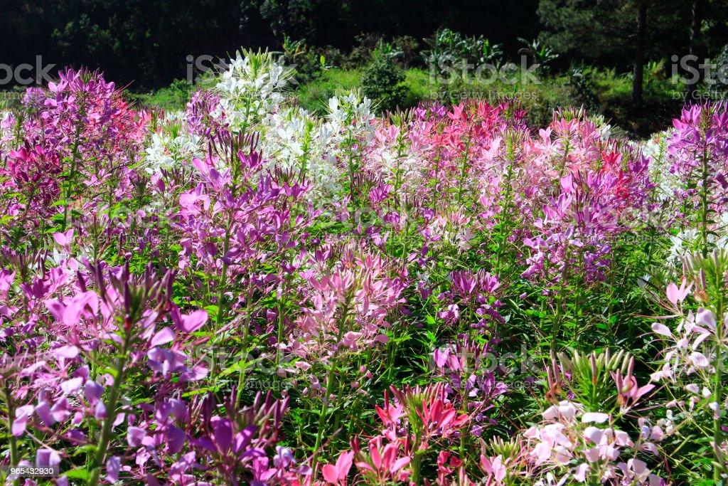 Cleome field in sunlight zbiór zdjęć royalty-free
