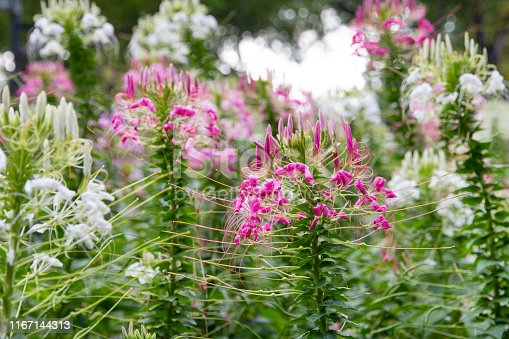 Cleome flower (spider- flower) in the garden.