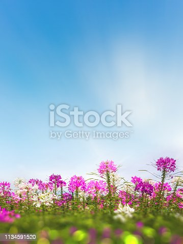 Cleome flower (Cleome hassleriana) or spider flowers with blue sky
