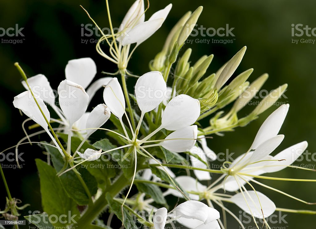 Cleome flower stock photo