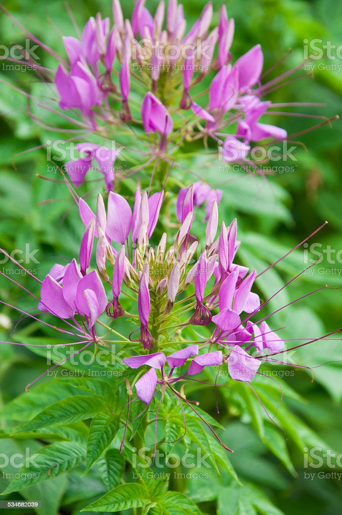Cleome or Spider Flower, a tall blooming annual stock photo