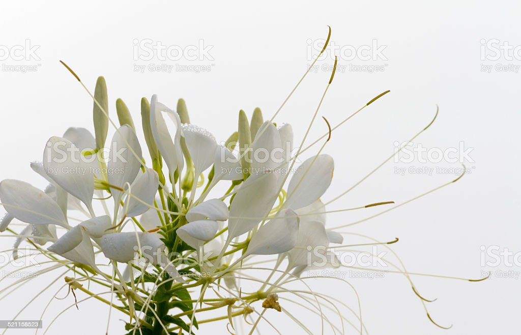 Cleome or Spider Flower stock photo