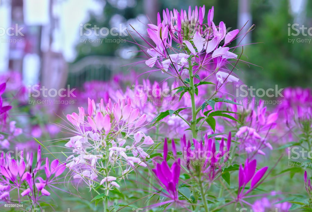 Cleome spider flower blooms in a beautiful garden stock photo