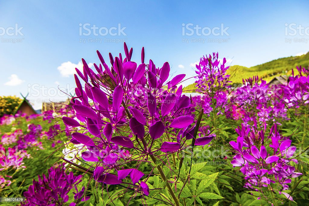 Cleome spinosa flower or spider flower stock photo