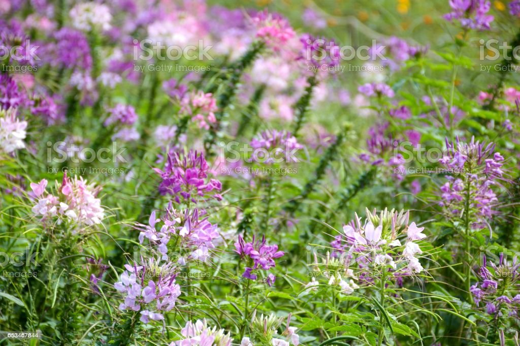 cleome spinosa flower stock photo