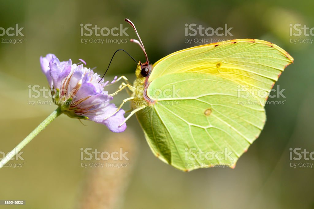 Cleopatra butterfly feeding on flower stock photo