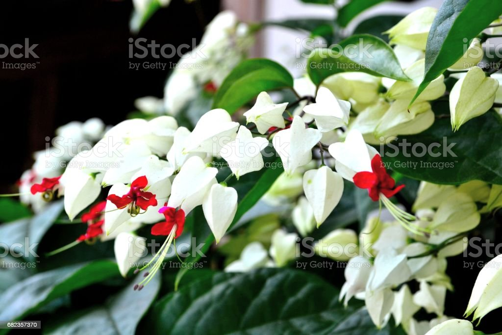 Clerodendrum thomsoniae royaltyfri bildbanksbilder