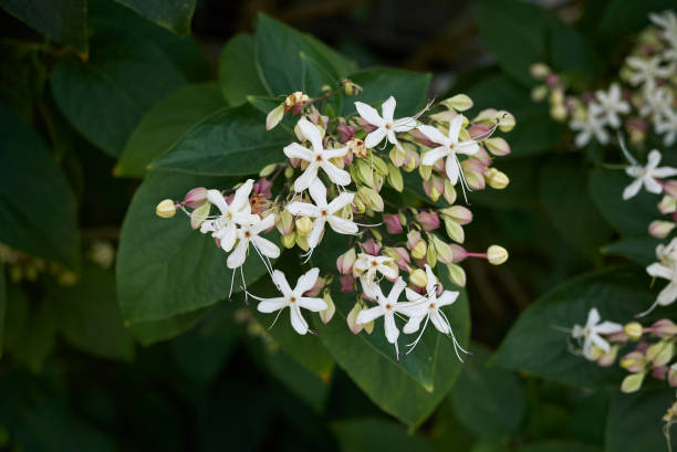 Clerodendrum trichotomum stock photo