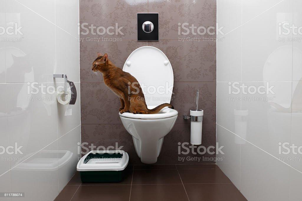 Lindo Gato Abissínio usa vaso sanitário foto royalty-free