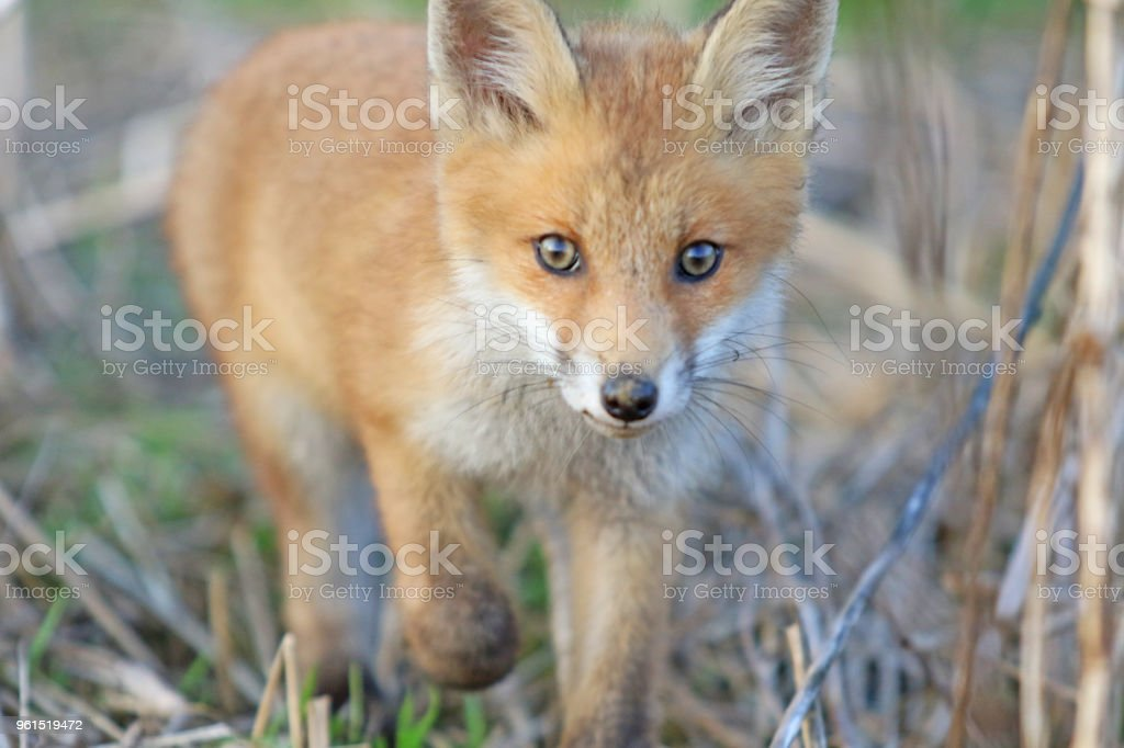 Clever Baby Spring Fox stock photo