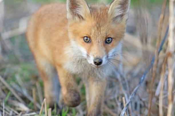 Fox inteligente de bebé de primavera - foto de stock