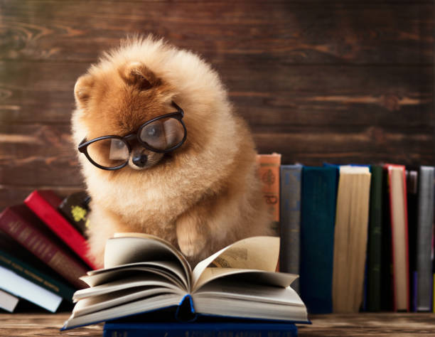 Clever pomeranian dog with a book. A dog sheltered in a blanket with a book. Clever pomeranian dog with a book. A dog sheltered in a blanket with a book. animal tricks stock pictures, royalty-free photos & images