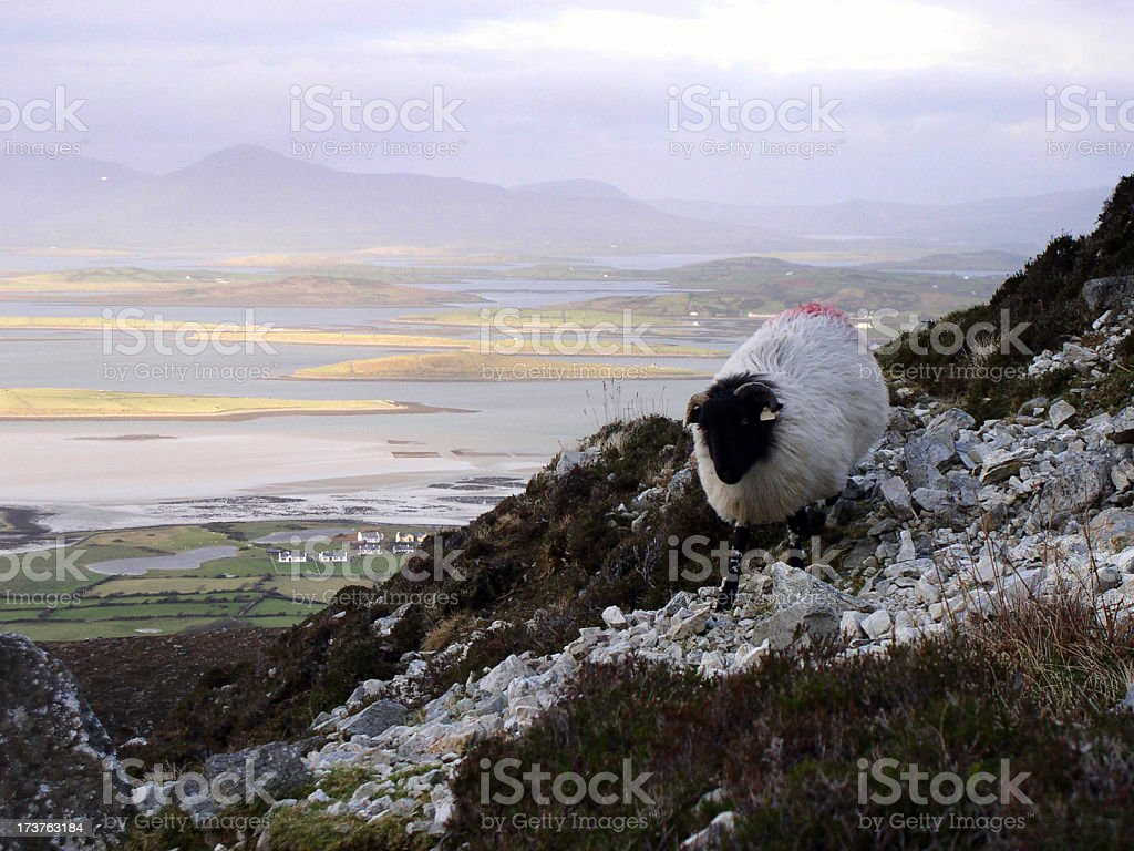 clew bay sheep stock photo