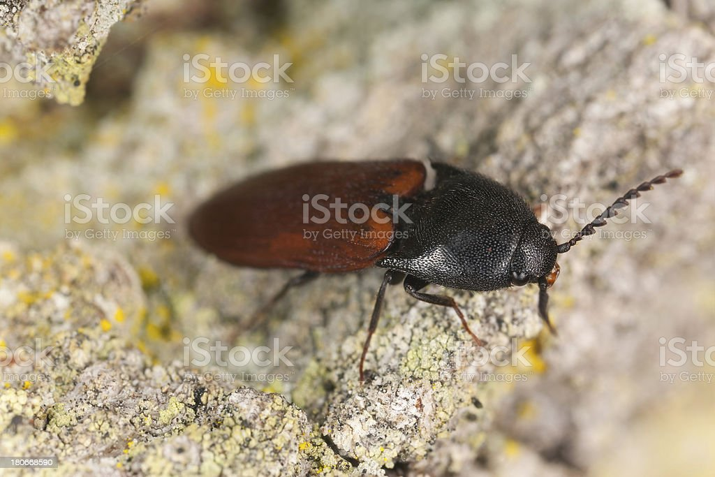 Click beetle, Ampedus hjorti on oak, macro photo royalty-free stock photo